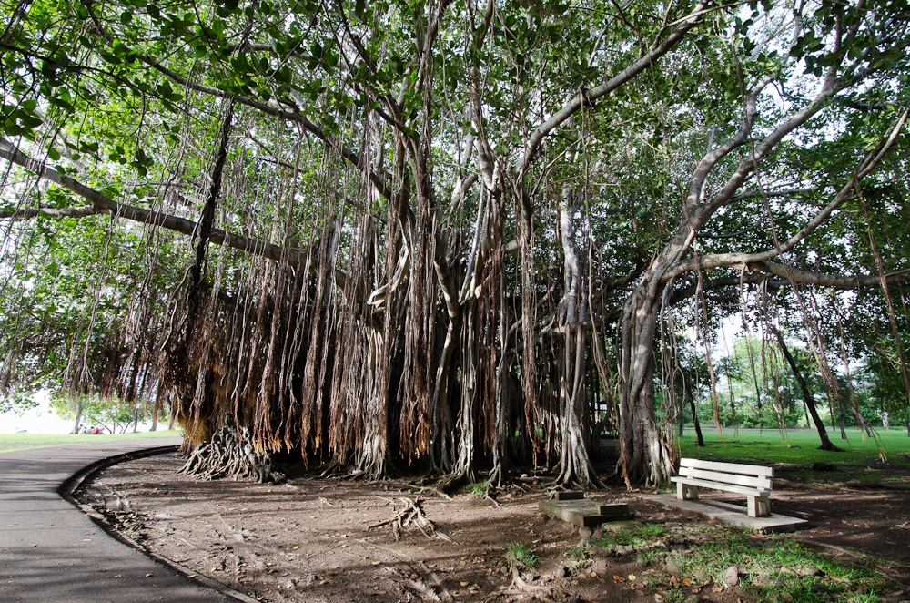 Read more about the article Grown-up Travel Guide's Best Photos: Banyan Tree, Port Louis, Mauritius