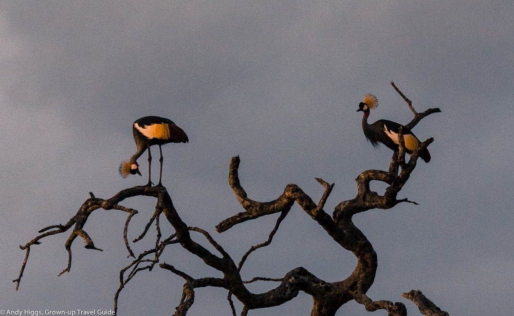 Read more about the article Grown-up Travel Guide's Best Photos: Crowned Cranes, Hwange, Zimbabwe