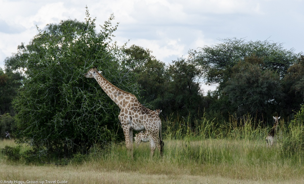 Giraffes on way to Bomani