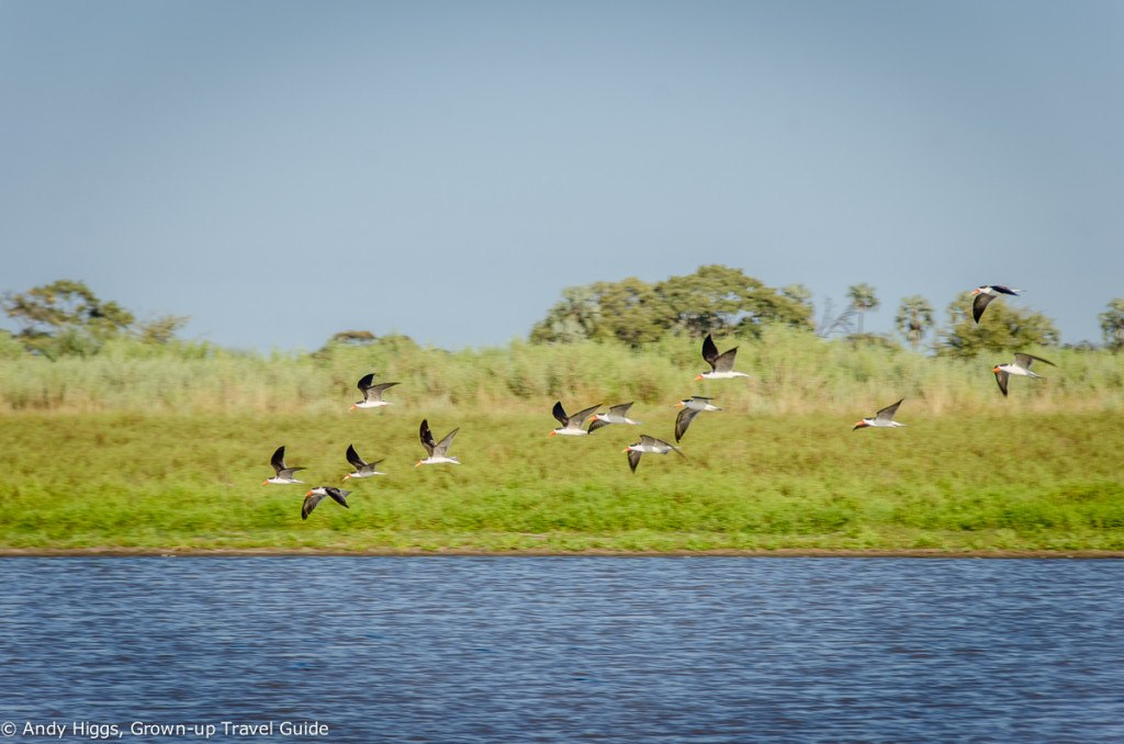 African skimmers in flight
