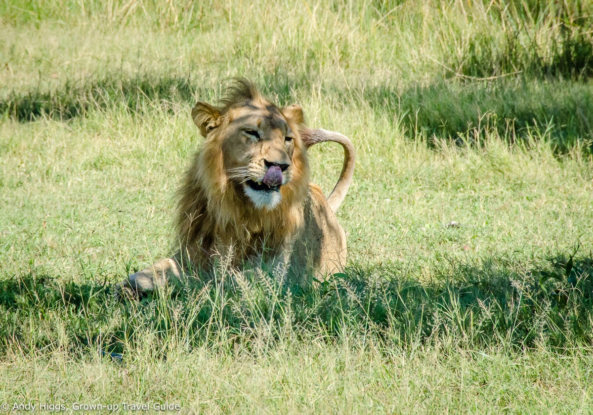 Read more about the article Grown-up Travel Guide's Best Photos: Close up with a lion, Moremi, Botswana