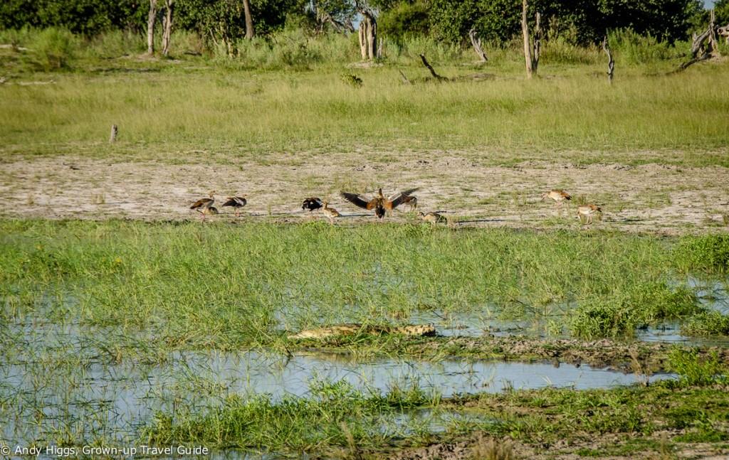 Croc and birds