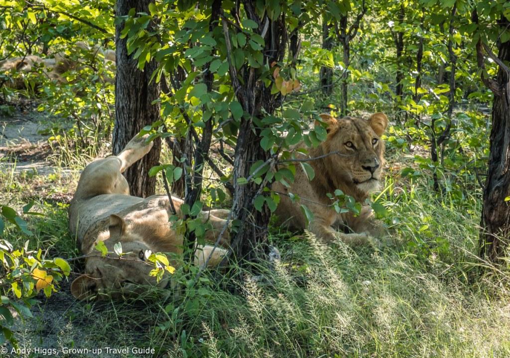 Laid back lions