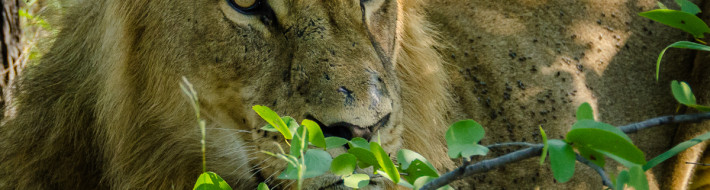 Lion closeup 2