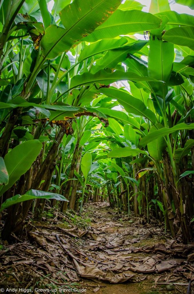 Banana plantation 2